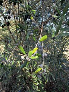 olives2w