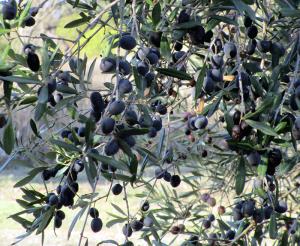 olives3w