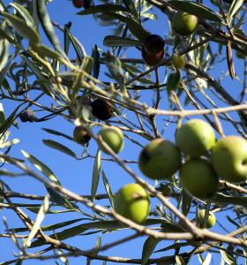 olives4w